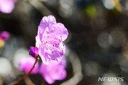 '봄꽃' 진달래, 제주서 3일 개화…31년 만에 가장 빨랐다