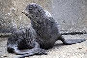울릉도에 멸종위기 야생동물 '북방물개', 사흘새 두번째 나타나