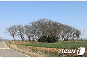 무안 조금나루 마을 '수호신' 400년 팽나무 압류…왜?