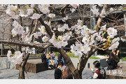 완연한 봄… 활짝핀 벚꽃