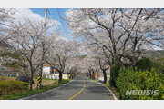봄의 전령사 벚나무가 온실가스 저감 해결사?…효과 보니