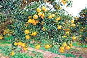 비타민C, 레몬의 3∼4배… 코로나로 해외서 유명세
