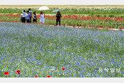 [퇴근길 한 컷]수백만 송이 수레국화와 안개초…꽃길 걸으며 여름맞이