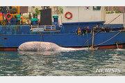 길이 8m 멸종위기 보호종 '브라이드고래' 발견