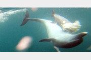 죽은 새끼 못 보내는 '돌고래의 모정'