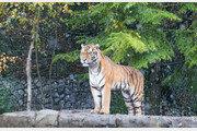 관람객 보는 앞에서…동물원 호랑이에 공격당해 사육사 사망