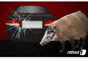 벌써 5일째, 세종도심 멧돼지 4마리 출몰…시민 불안