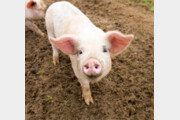 당신이 모르는 돼지의 일생[스스무의 오 나의 키친]〈83〉
