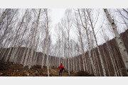 바람도 잠든 자작나무숲… 별빛이 살금살금 내린다