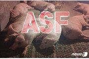 화천서 '돼지열병 감염' 멧돼지 1마리 발견