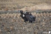 몽골서 윙택 부착한 독수리, 서산시 천수만서 확인