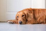 """""""아프지 마"""" 산소호흡기 낀 주인 걱정돼 곁을 떠나지 않은 犬"""