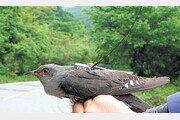 여름철새 벙어리뻐꾸기 4691㎞이동경로 첫 확인