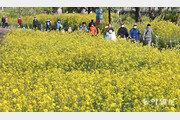 유채꽃 산책로 찾은 시민들