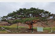 화마 그을린 160살 소나무 '건강' 되찾아