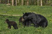 안락사시킨 곰 2마리 뱃속에서 여성 시신 일부 발견