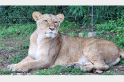 인도 동물원에서 사자 2마리 코로나19 감염