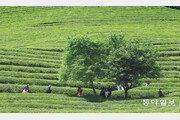 한 폭의 그림 같은 보성 녹차밭