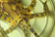 제주서 '청산가리 10배 독성' 파란고리문어 발견…물리면 신체마비