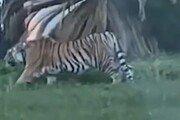 미국 가정집에서 키우던 반려 호랑이 실종 '인근 주민들 공포'