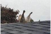 """""""도와주세요"""" 남의 집 침입하려다 지붕에 낀 너구리 (영상)"""