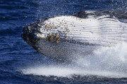 '바다의 왕자' 혹등고래의 유영 [퇴근길 한 컷]