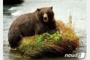 슬로바키아서 57세 남성 갈색 곰에 물려 사망