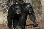 야생 침팬지 무리가 고릴라 공격해 죽이는 모습 최초 목격돼