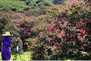 불 타는 듯 붉은 배롱나무 꽃망울[퇴근길 한 컷]