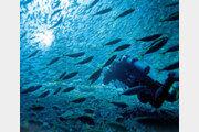 자리돔-부시리떼와 숨바꼭질… 해저숲의 푸른 유혹