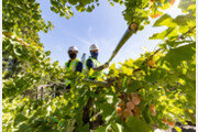 '가을 불청객' 은행나무 열매 미리 채취