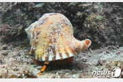 나팔고둥 등 멸종위기 해양생물 5종, 다도해국립공원에서 발견