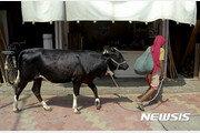 印, 긿잃은 소 피하려다 버스 트럭과 충돌 최소 12명 사망