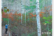 단풍 빛 머금은 인제 자작나무숲