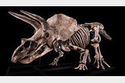 세계 최대 '트리케라톱스' 화석, 90억 원으로 낙찰