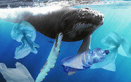 피 토하며 죽은 새끼 고래…뱃속에 비닐봉지 40kg가