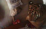 홍수 피해 민가에 내려온 호랑이…아찔한 순간