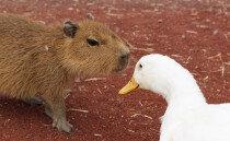모두의 친구! 보기만 해도 힐링되는 순둥이 인싸 동물 '카피바라'
