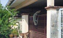 가정집 대문 넘으려는 왕도마뱀 포착… 몸길이만 4m