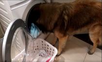 """""""빨래 집어넣고, 꺼내기까지""""…세탁기 돌리는 반려견"""