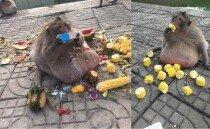 관광객이 던져준 음식 모두 먹고 초고도비만 된 원숭이?