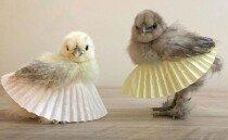 발레복 입은 닭들, 박수치지 않을 수 없는 귀여움
