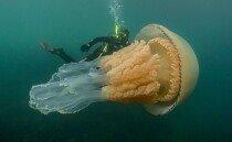 거대 해파리 발견…길이만 1.5m '사람보다 큰 몸집'