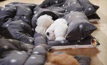 """""""세상 포근해"""" 이불 덮고 낮잠 자는 강아지들"""