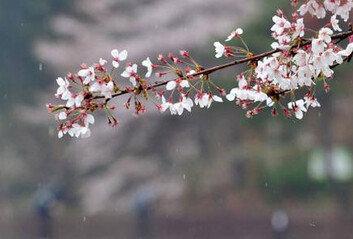 봄비 그친 뒤 꽃샘추위수요일 '한파주의보' 예상