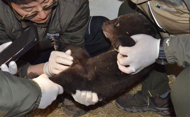 반달곰 인공수정 또 성공… 2년간 총 5마리 낳았다