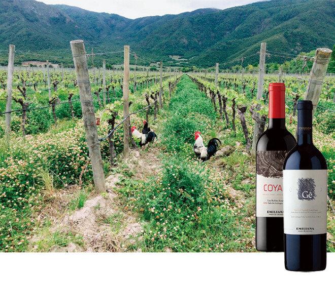 칠레 에밀리아나 밭에서 닭들이 벌레를 쪼며 돌아다니고 있다. '코얌'과 '지' 와인(왼쪽부터). [사진제공 · 김상미]