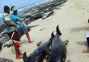 해변가에 몰려온 돌고래 떼, 100여 마리는 떼죽음… 왜?