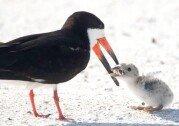 어미새가 새끼에게 먹이고 있는 것이 무엇인가 보니, '충격!'