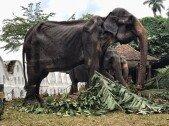 뼈만 앙상한 코끼리… 충격적인 학대 폭로 '발칵'